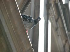 pidgeon looking at you the camera perch perching grey beak bird