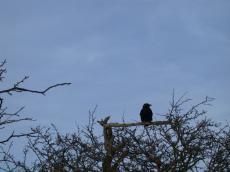 nature animals birds crow tree branch bush