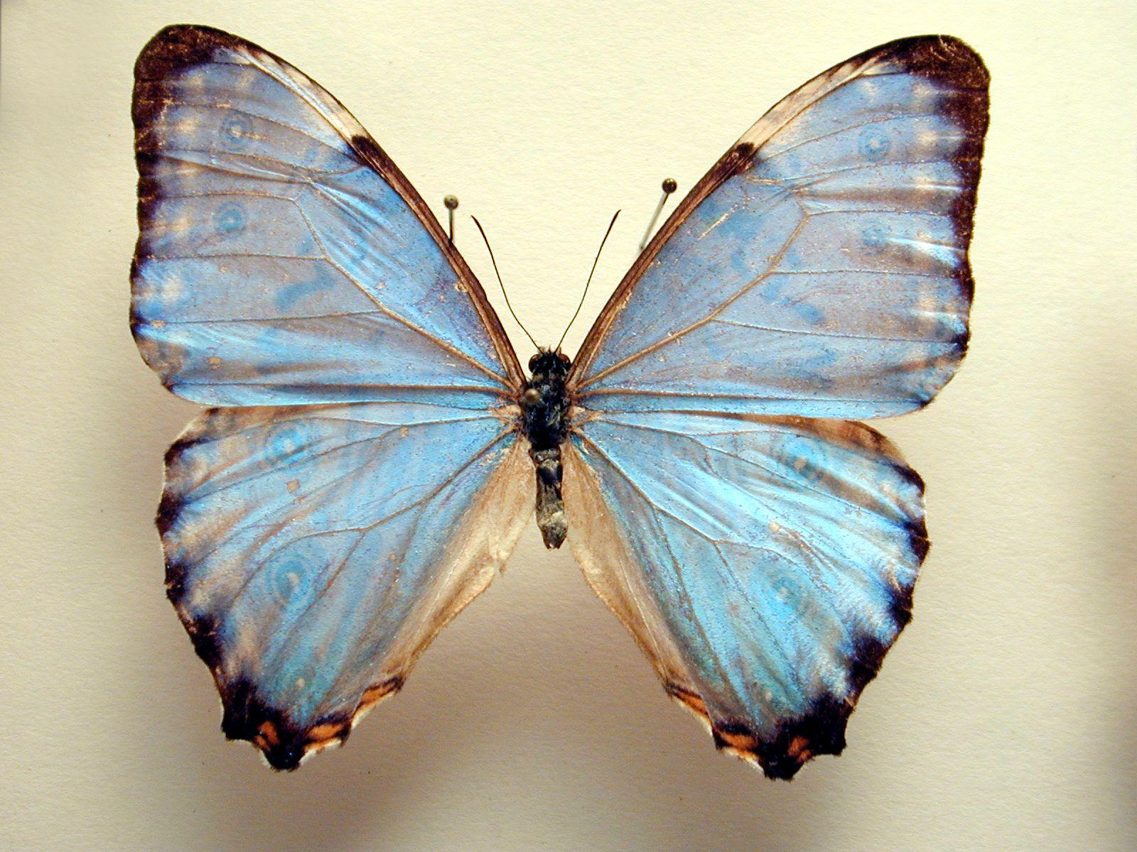 Light Blue Butterfly Wings