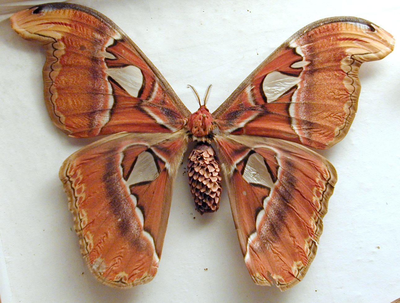 Butterfly Wings Pattern