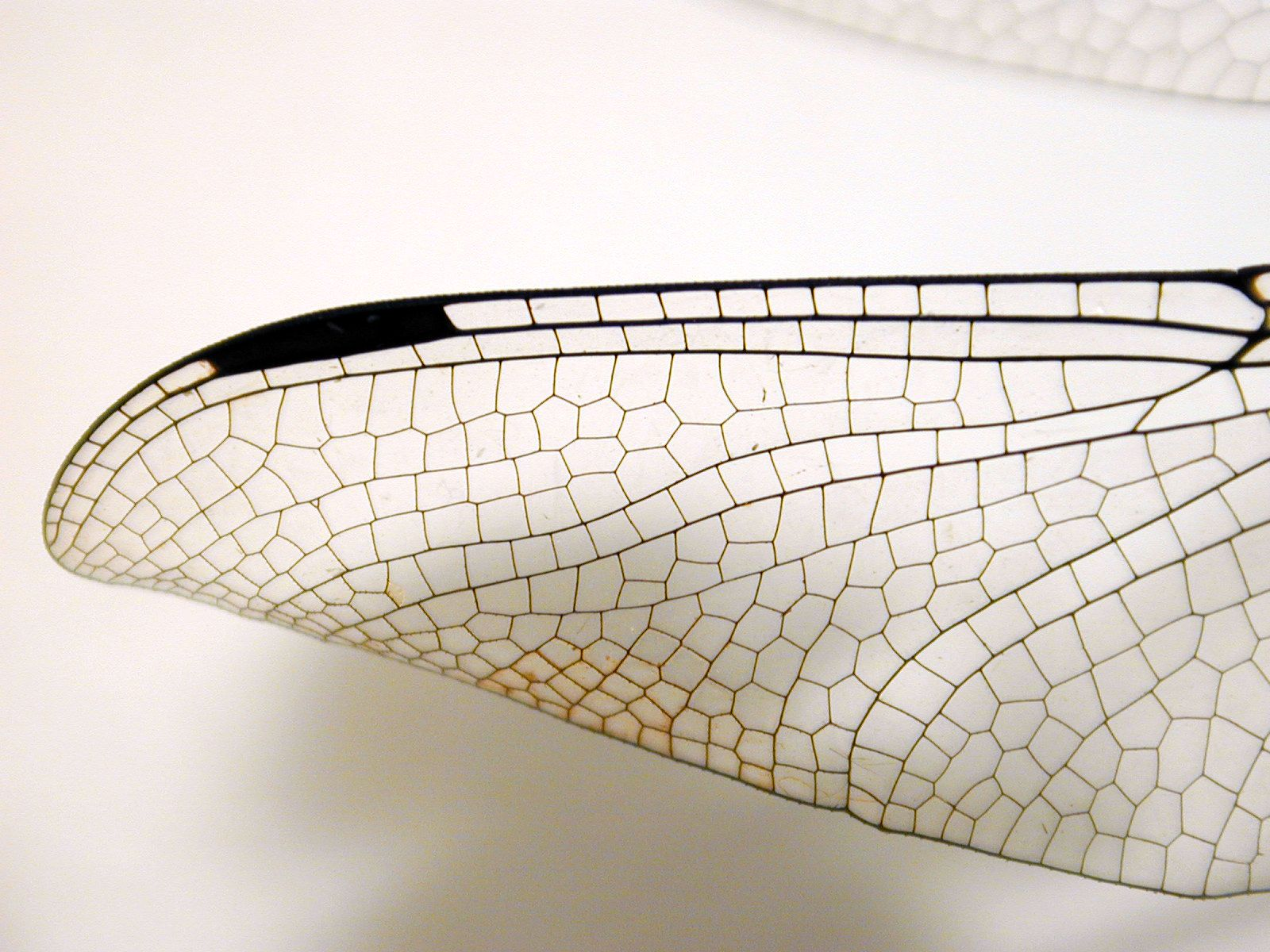 Insect wing texture - photo#8