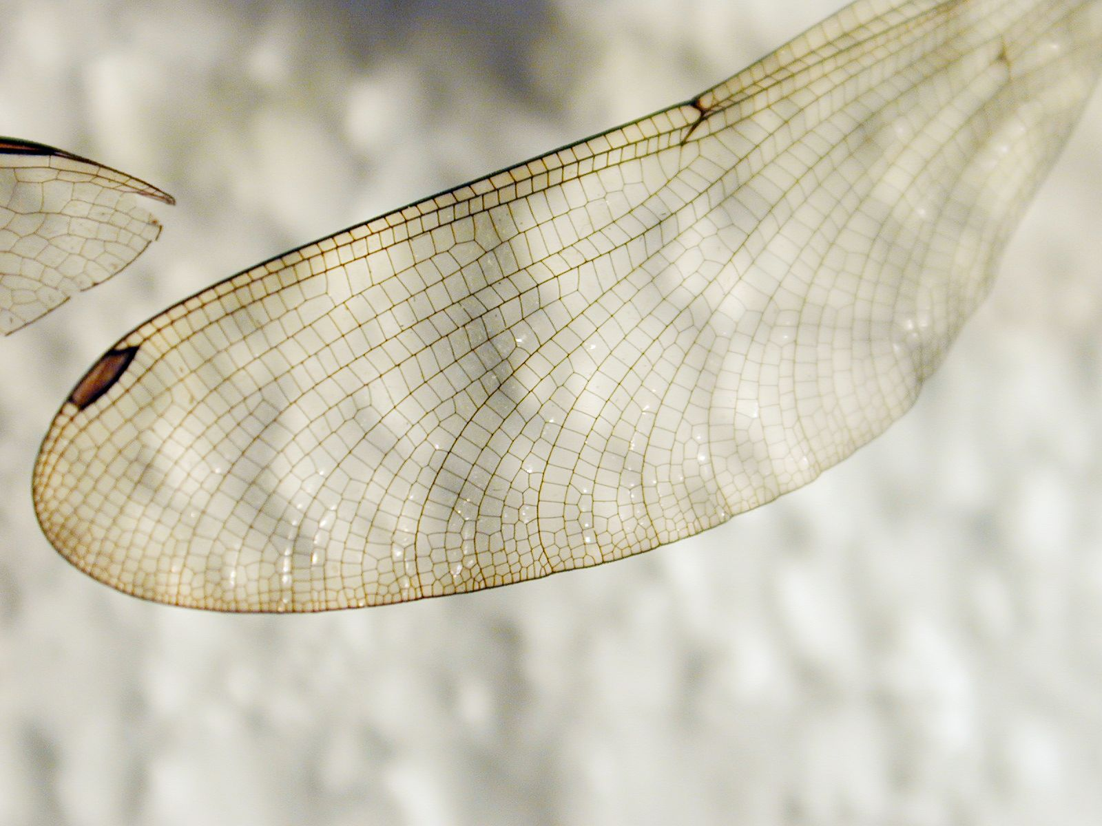 Insect wing texture - photo#16