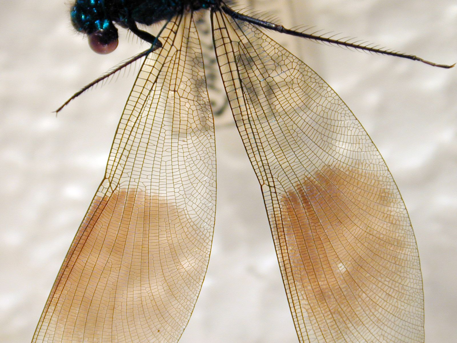 Insect wing texture - photo#28