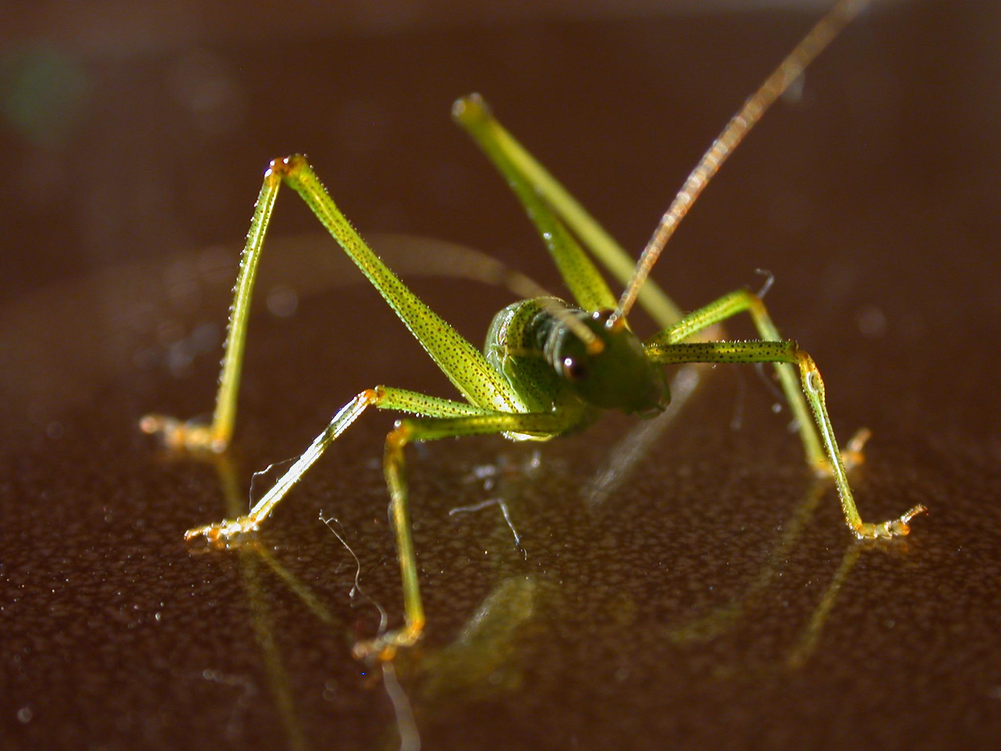 image after images grasshopper insect green long legs antennae alien. Black Bedroom Furniture Sets. Home Design Ideas