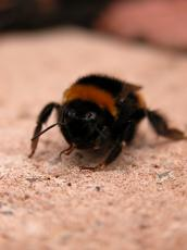 bumble bee on ground fur hairy soft searching for his contacts