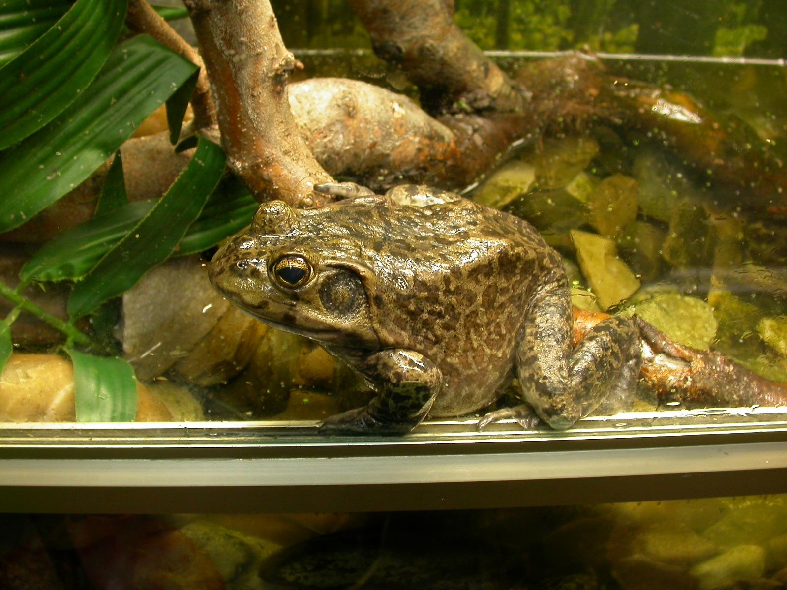 Террариум для наземных лягушек и жаб, размеры террариума 56