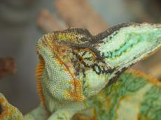 chameleon green horn  scale scales scaled reptile eye