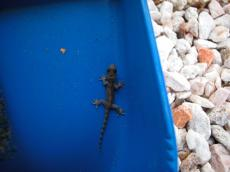 jacco curacao nature animals land gecko lizzard blue plastic top little small baby feet