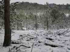 snow winter landscape trees forest pines cold frost paul