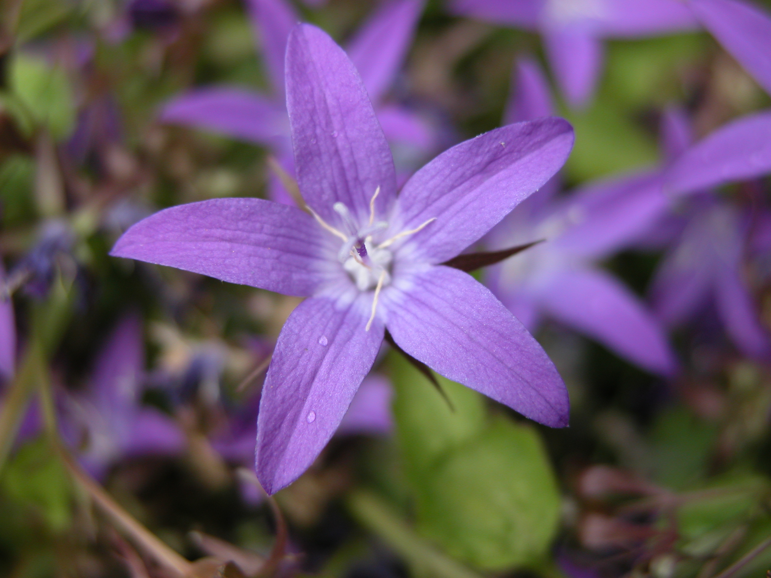 Imageafter Images Nature Plants Flower Star Purple