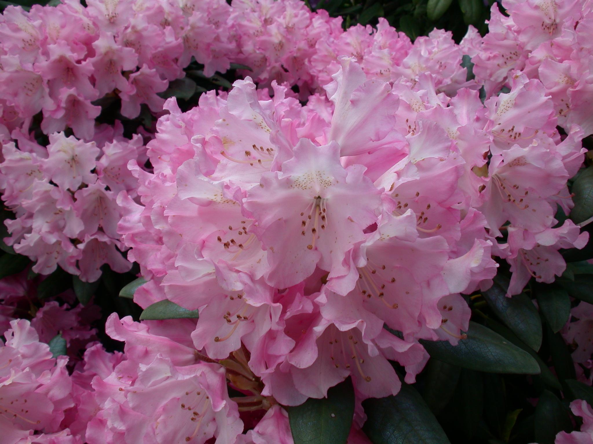 buona notte e buona domenica...vi arriva il profumo dei fiori?...veramente non lo so se profumano...a vederli si direbbe di sì dans fiori e piante b15nature_plants056