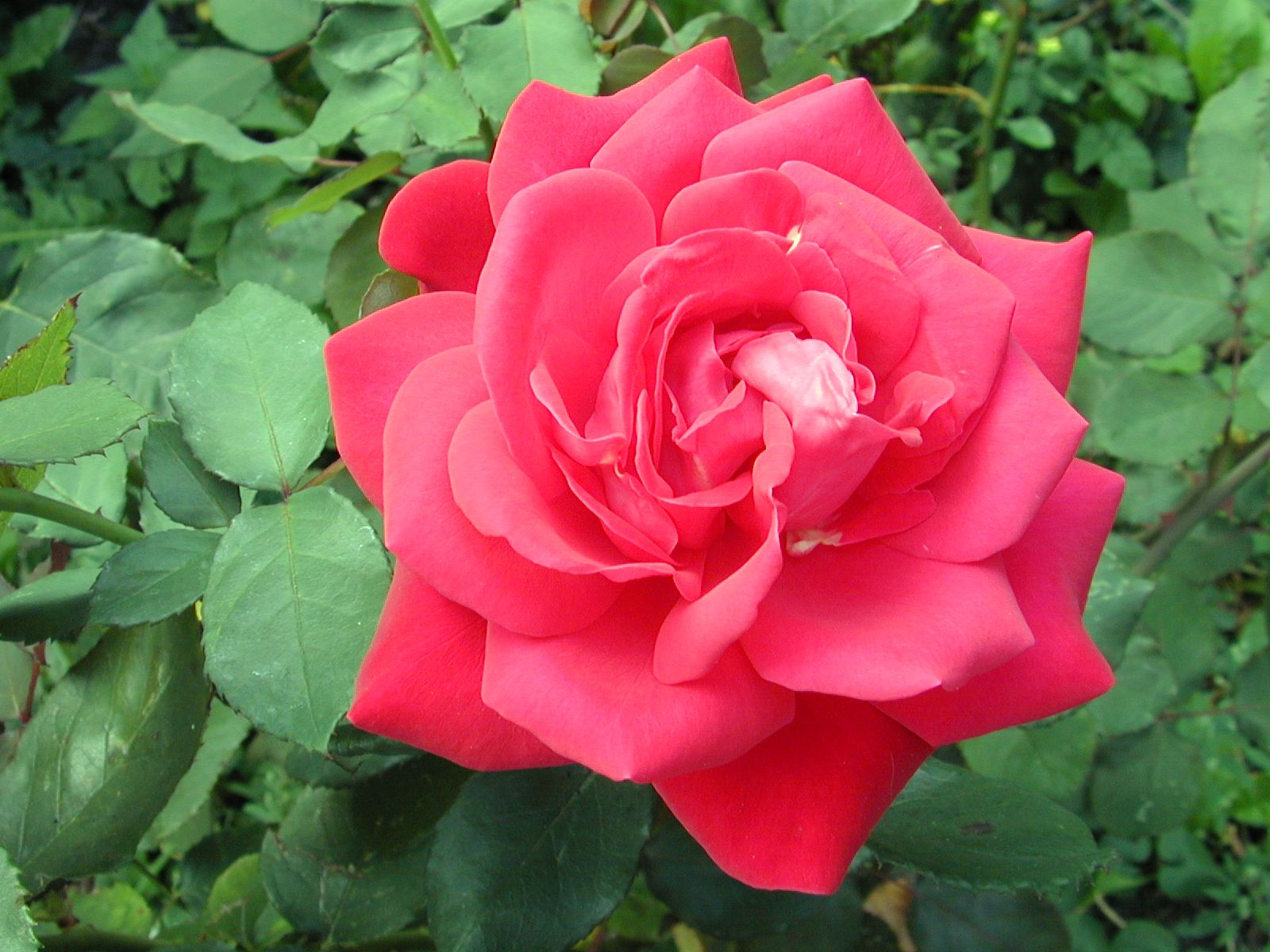 Image After Photos Rose Flower Plant Red Green Bloom