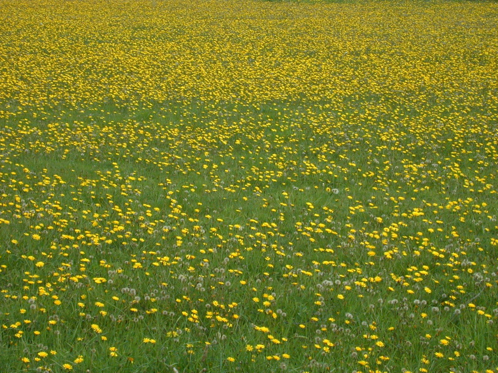 Imageafter Photos Field Flower Flowers Of Yellow Poppy Poppies