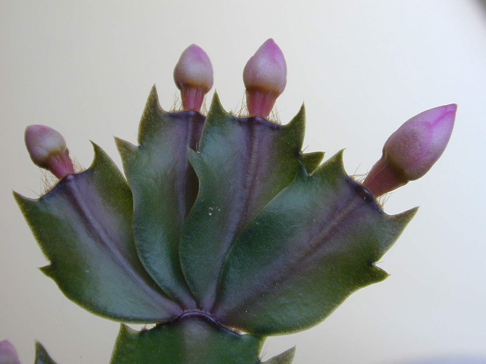 Imageafter Images Plant Flower Flowers Catus Spiky Bud Buds