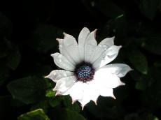 nature plants flower white dew waterdrops moist purpleheart macro