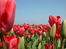nature plants flowers tulip tulips red holland flowerfield flowerbulbs