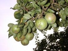 fruit tree nature plants pear pears