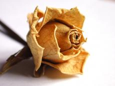 nature plants dried rose