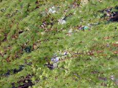 bush shrubbery twick needles leafes den pine tree