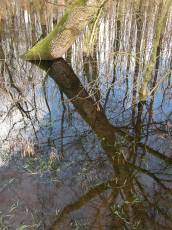swamp trees reflection