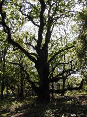 nature trees oak tree silhouette forrest