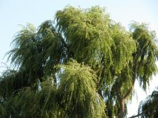 weeping willow green summer bark leafes tree