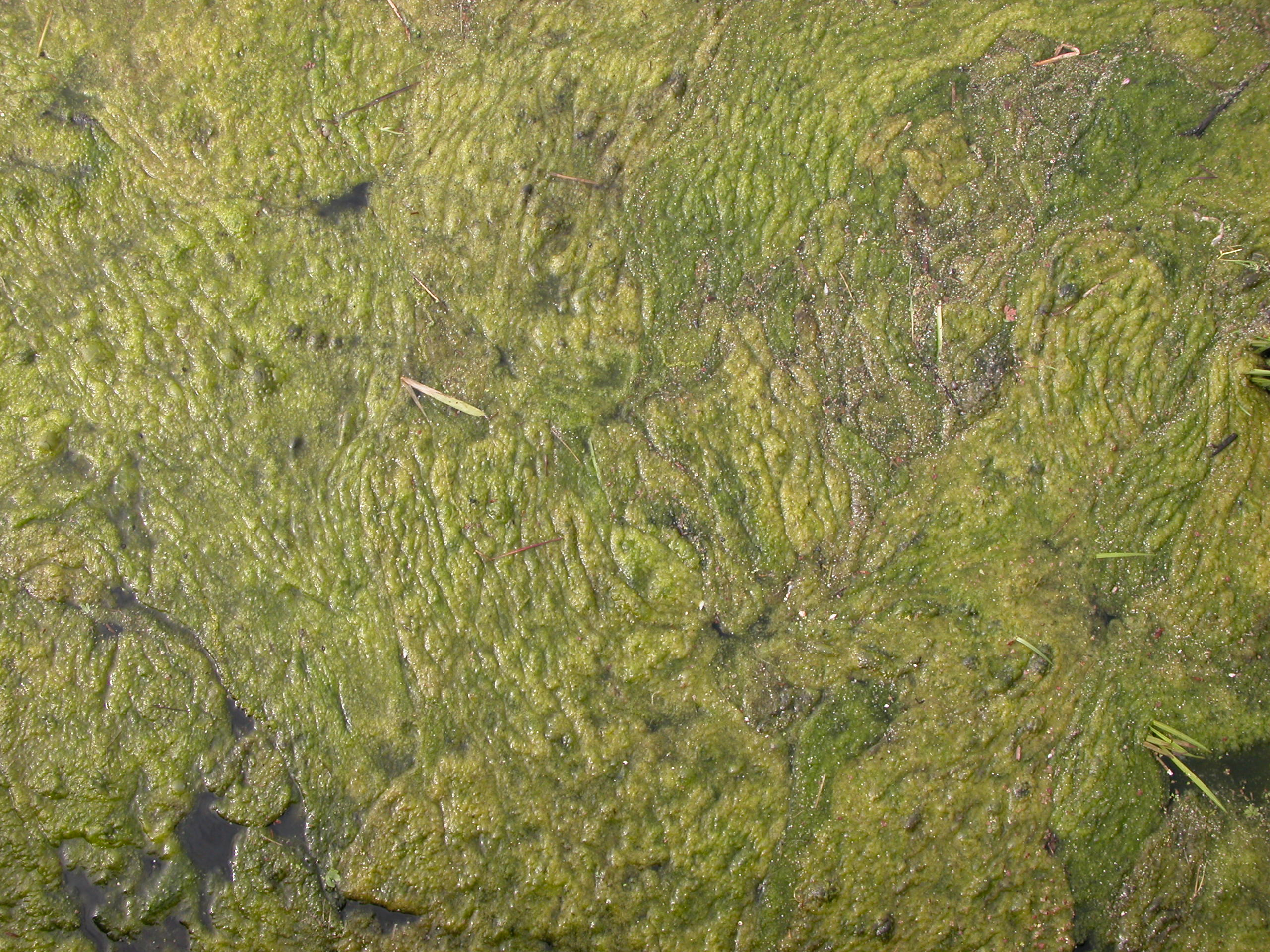 Image after texture green goo pond algae water for Green water in pond