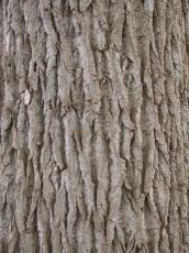 wood texture bark coarse poplar tree