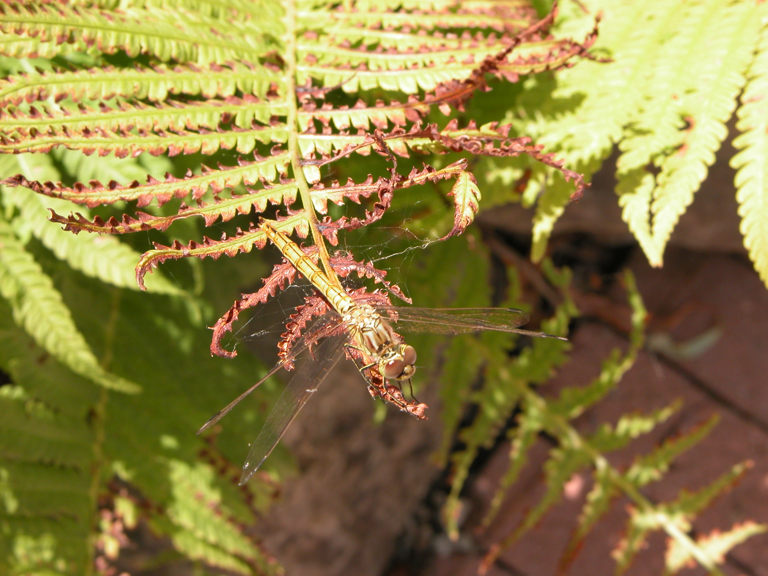 nature plants fern animals insects lillybelle macro top dragonfly