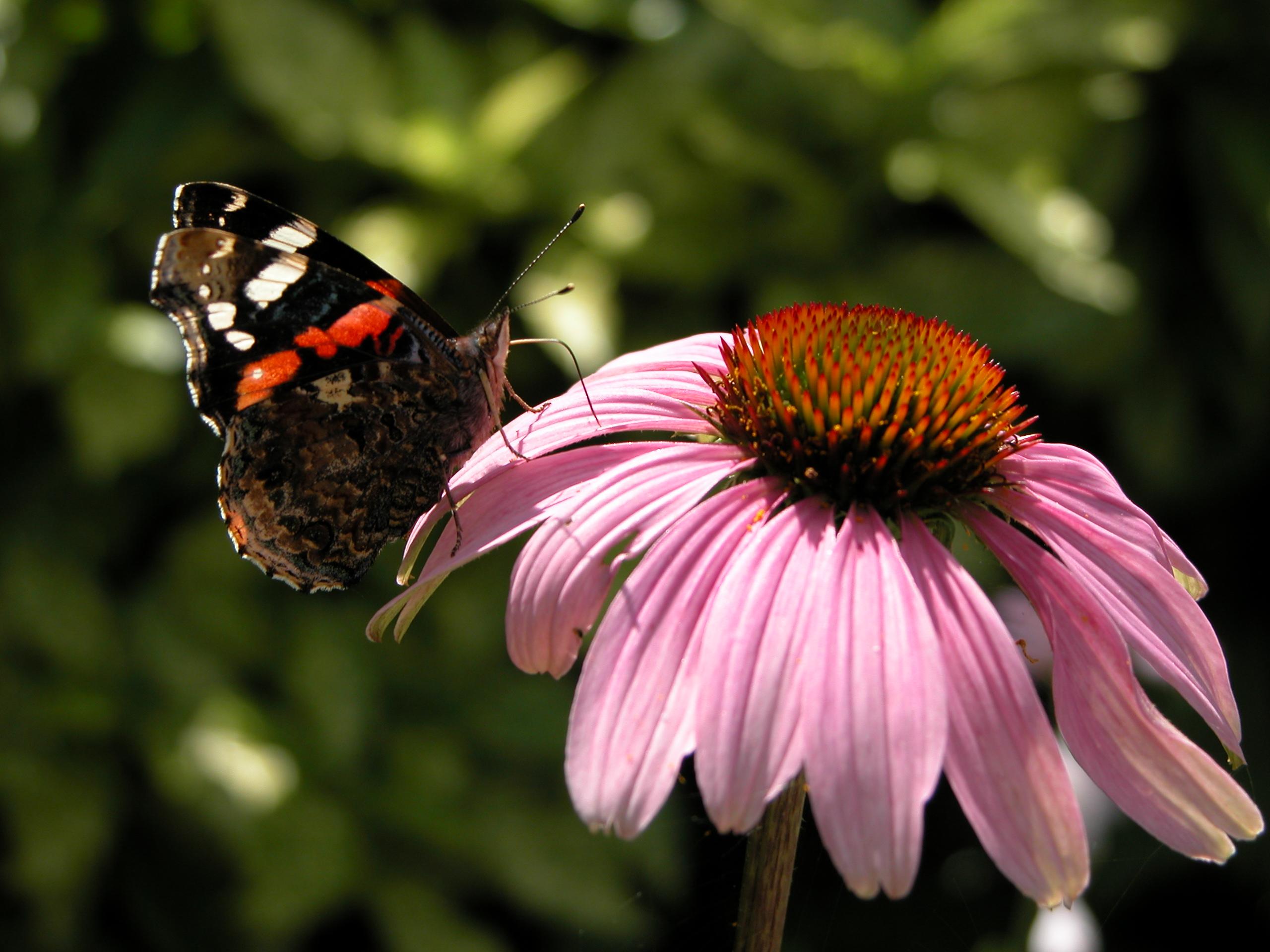 butterfly on purple pink flower black orange wings