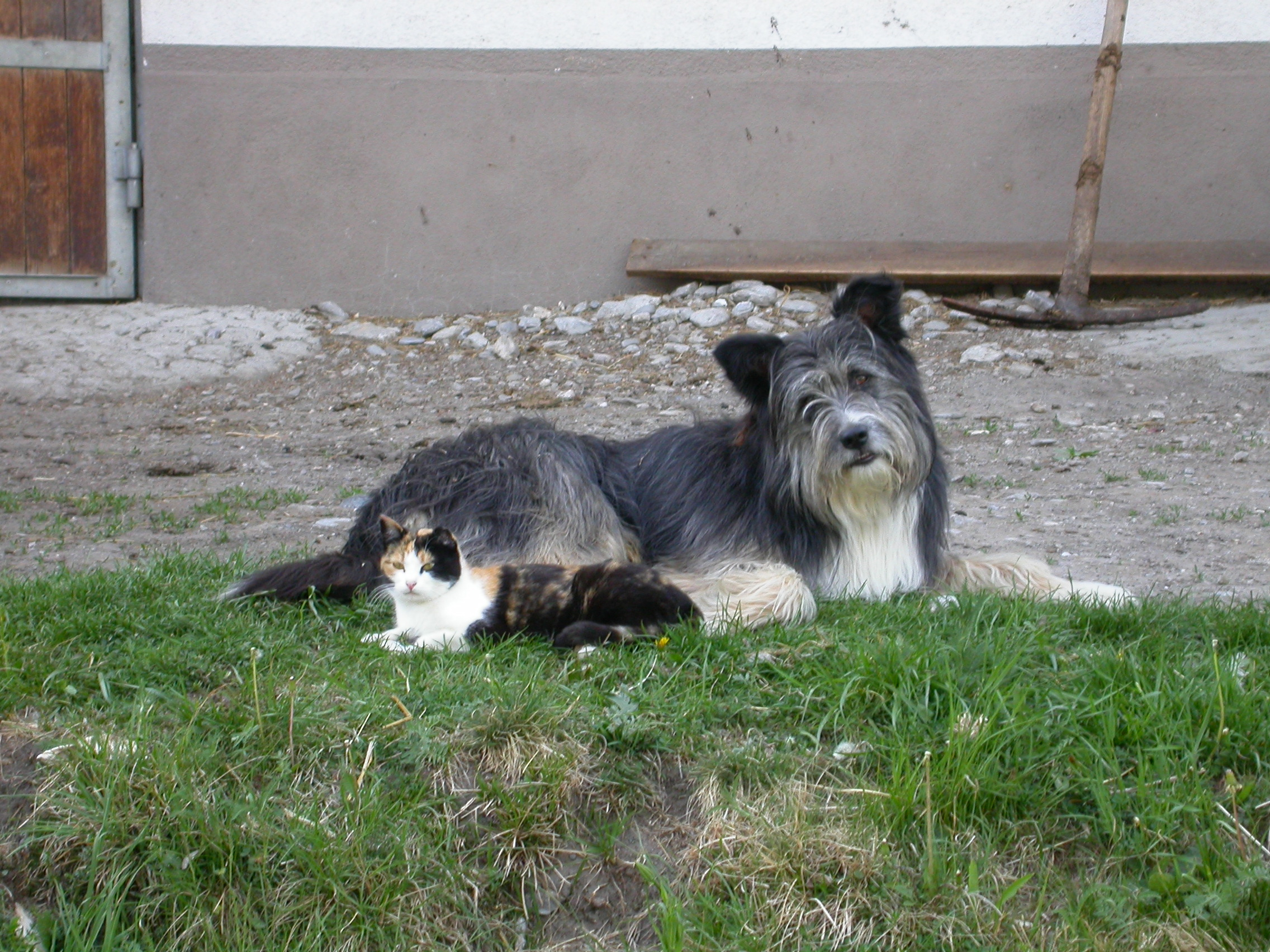 paul dog and cat a fur hair hairs grey feline canine farm animals