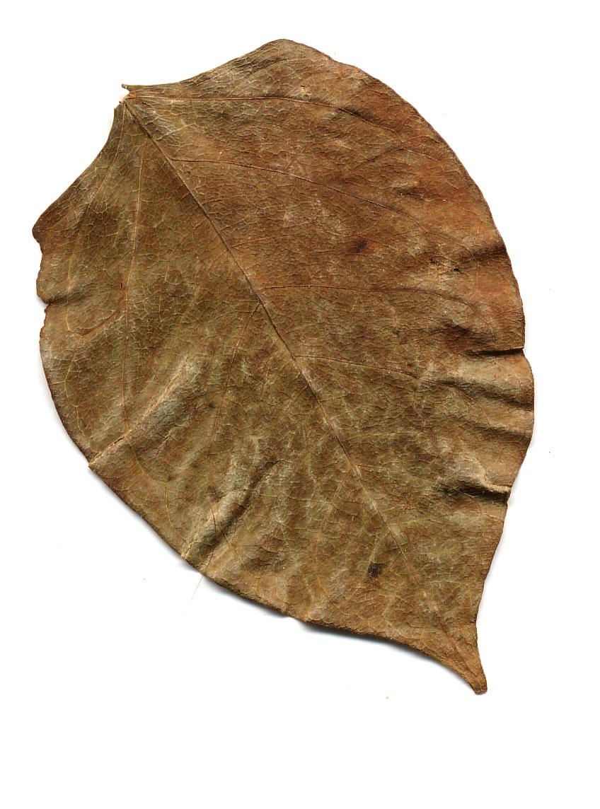 dried leaf brown flat themabina