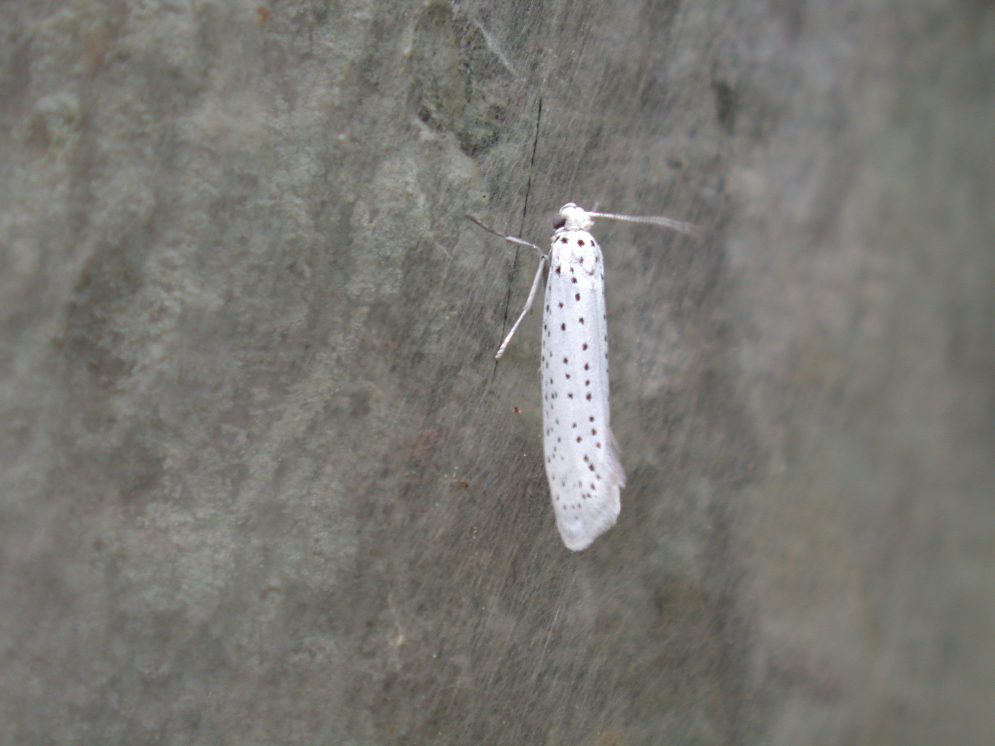 insect moth white spotted spots hairy
