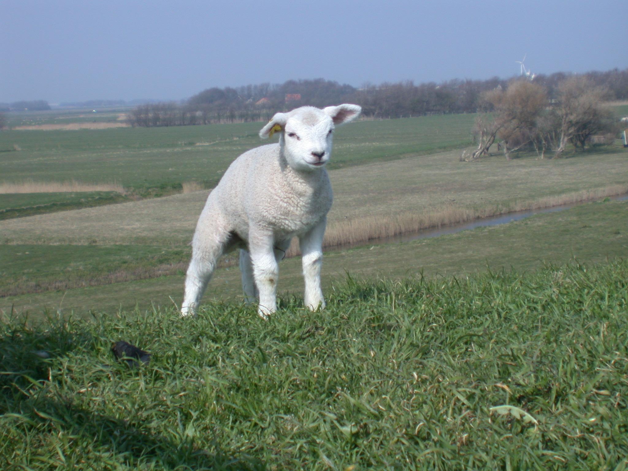 little lamp cute farm animal whool white head small field fields grass free