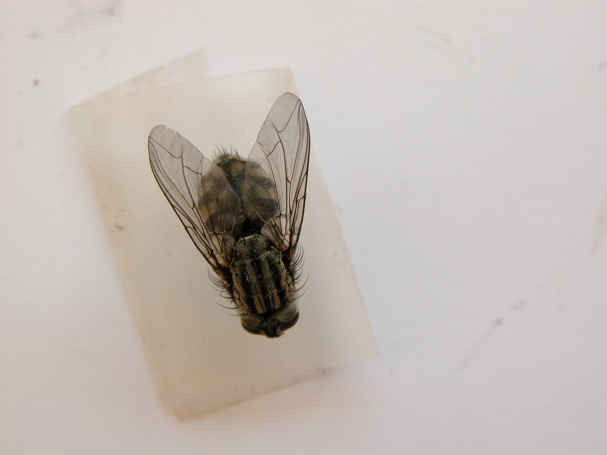 fly housefly insect dirty wing wings dead hair hairs