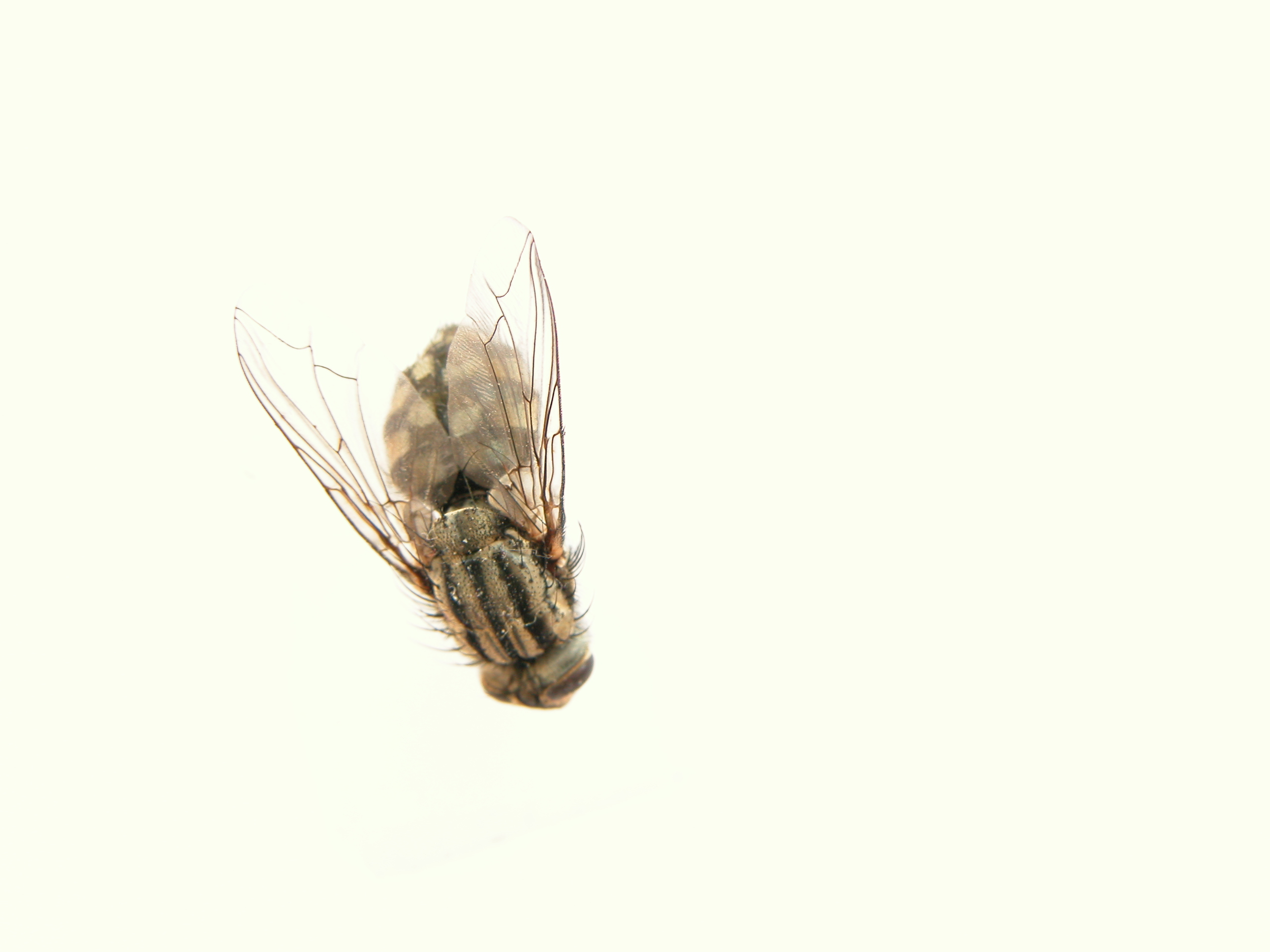 dead fly top bright housefly flies