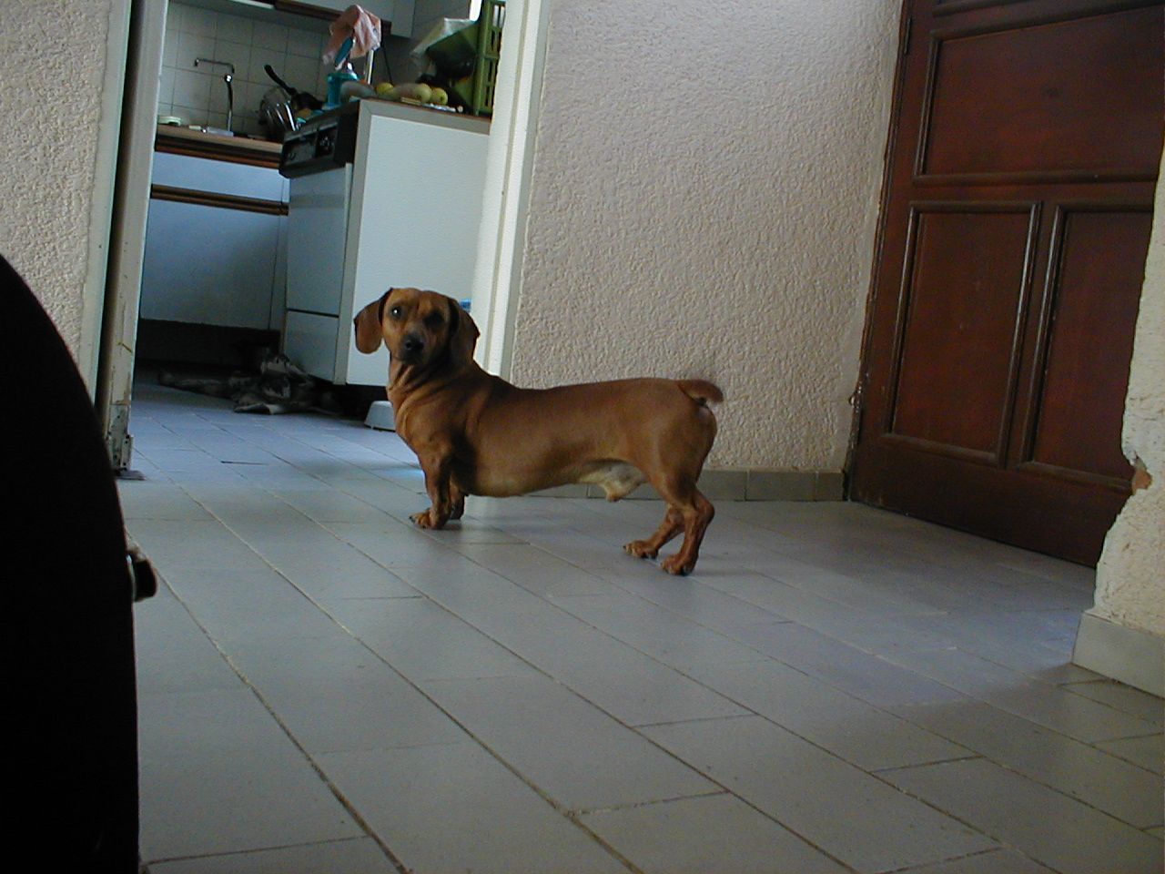 little dog spaniel brown fur coat house ears floor pet