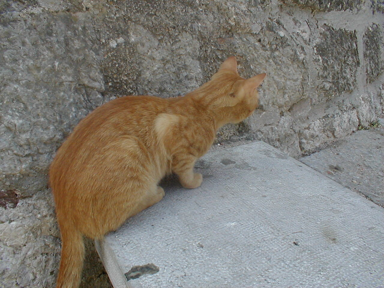 red cat on a wall sneaking fluffy pet dario