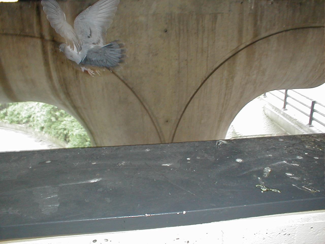 dario pigeon bird flying away scared startled