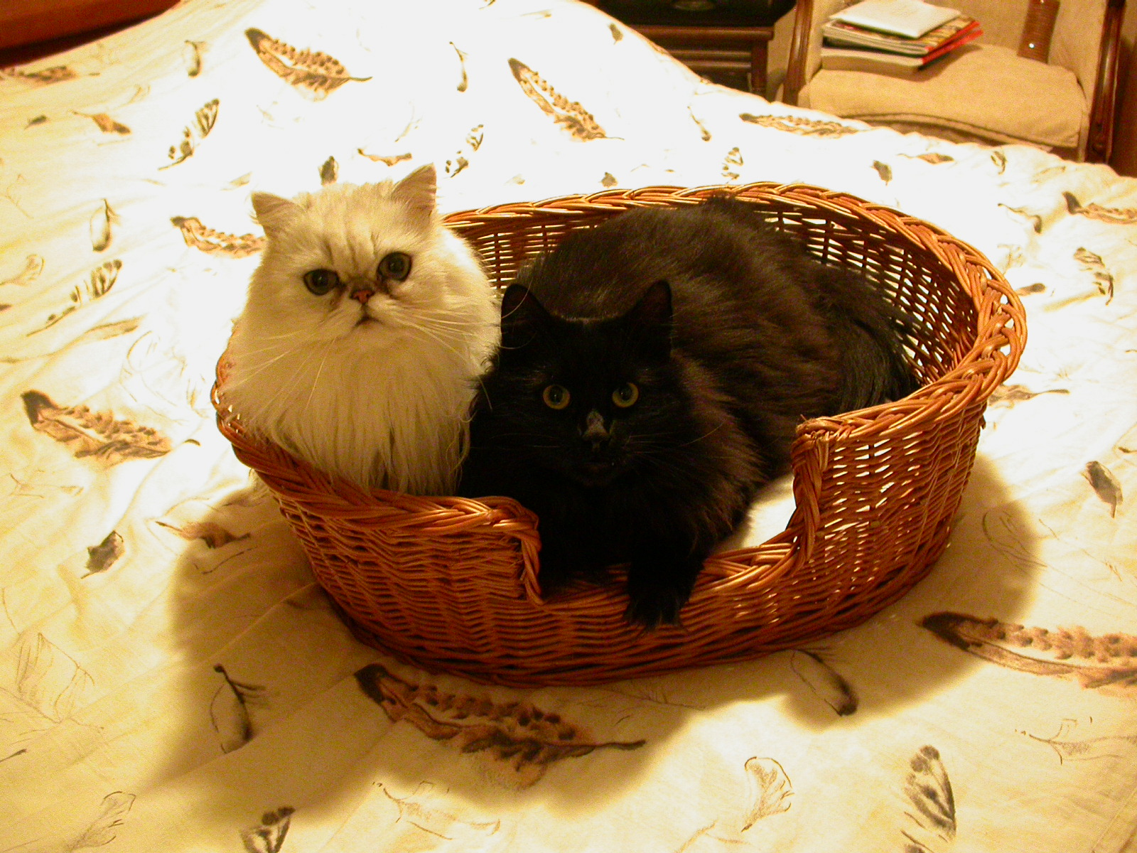 eva 2 two cats in a basket white black fluffy