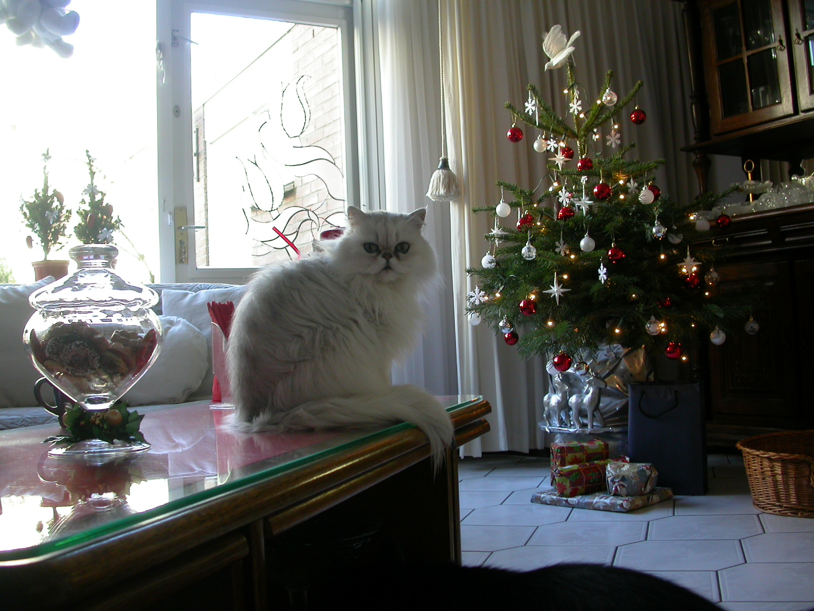 eva white long haired cat of Christmas pet fury living room tree decorated