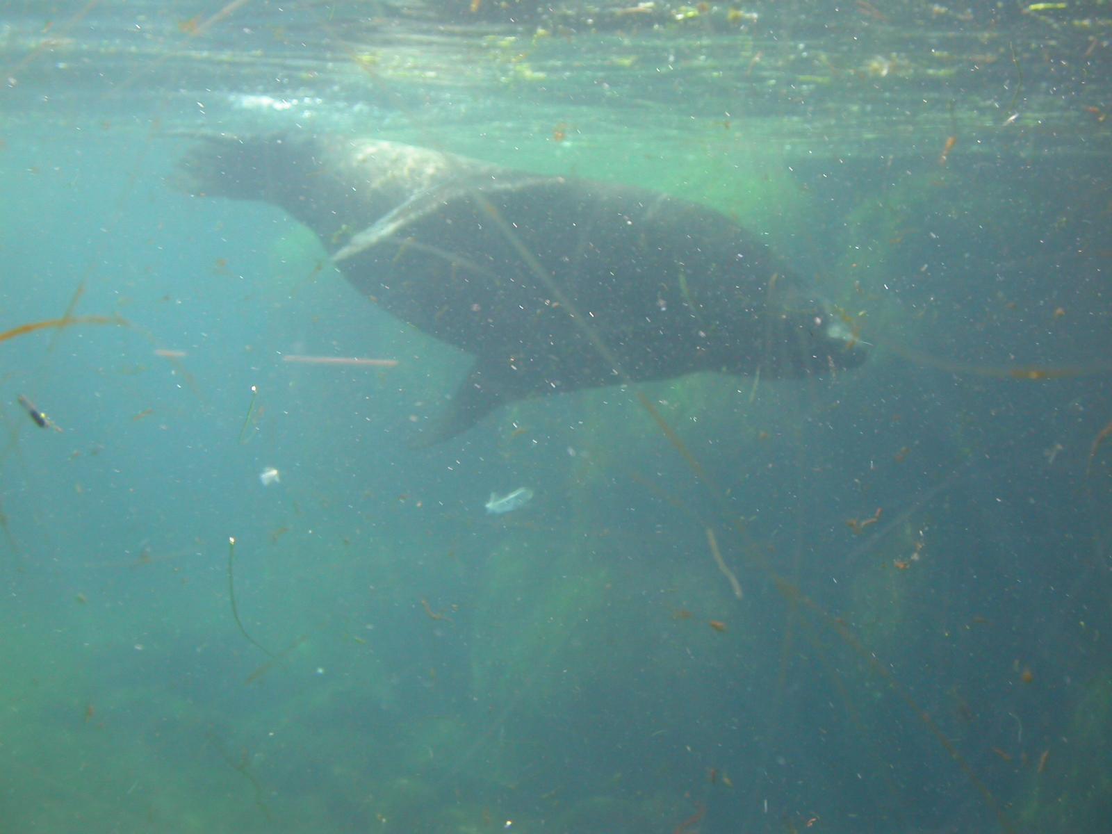 eva manatee large animal swimming water heavy green seal