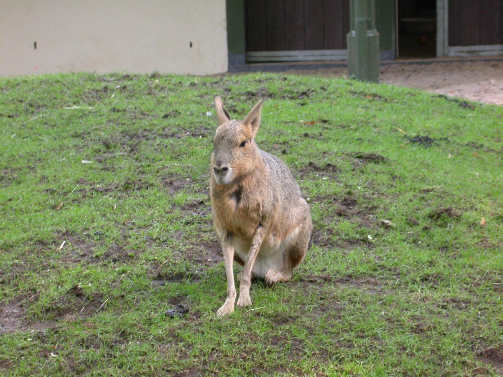 eva rabbit like mammal sitting on grass fur soft royalty-free