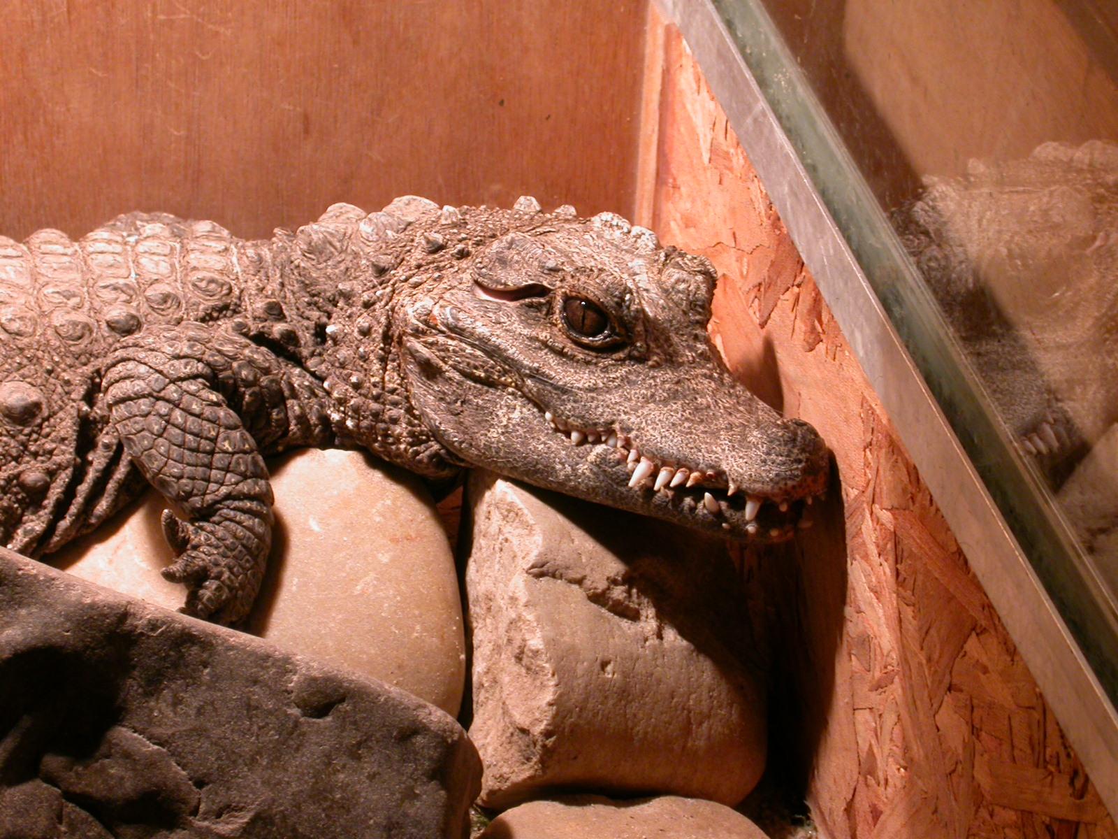 eva alligator crocodile reptile