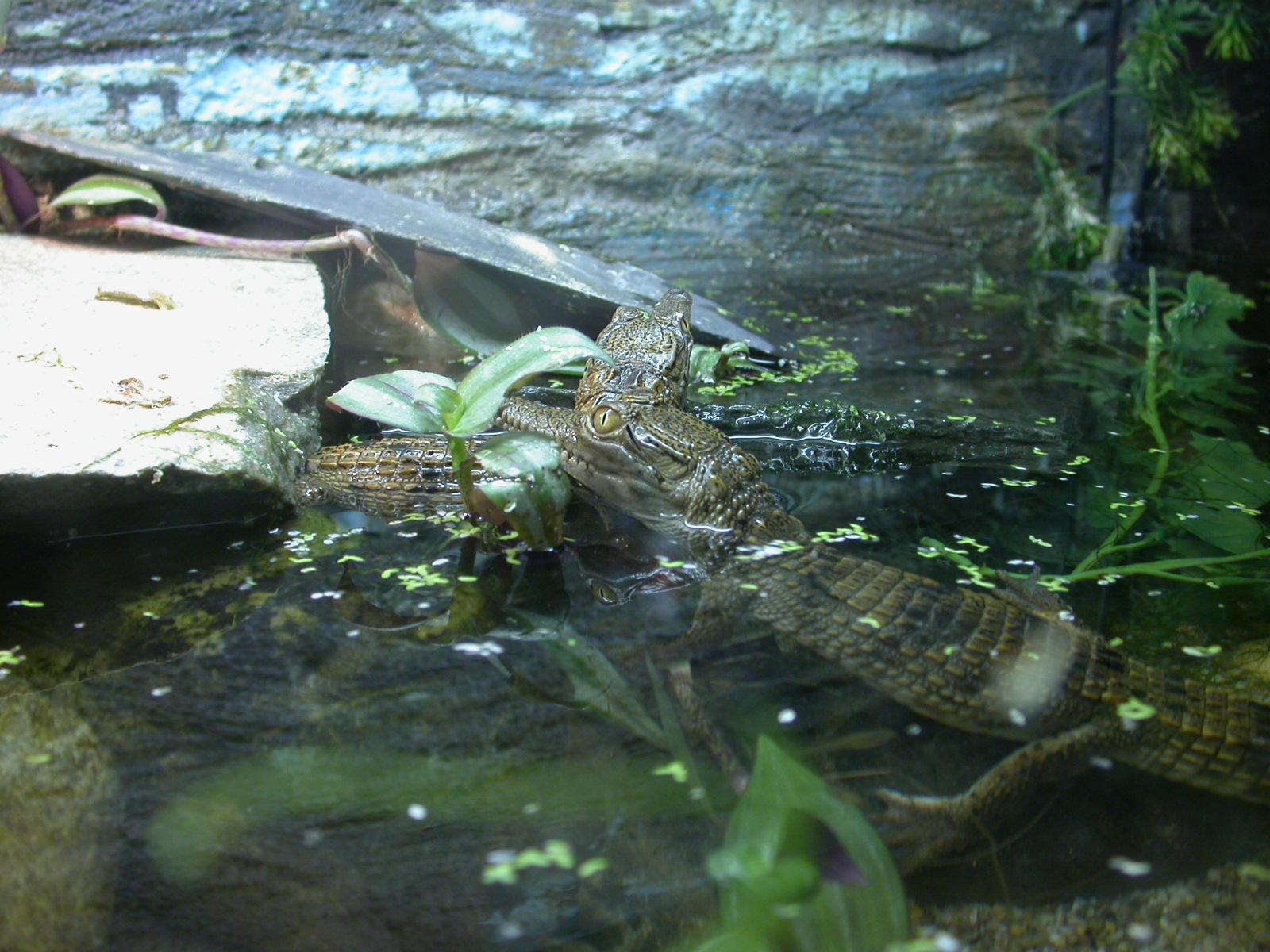 eva zoo baby crocodiles alligators crocodile alligator water reptiles young