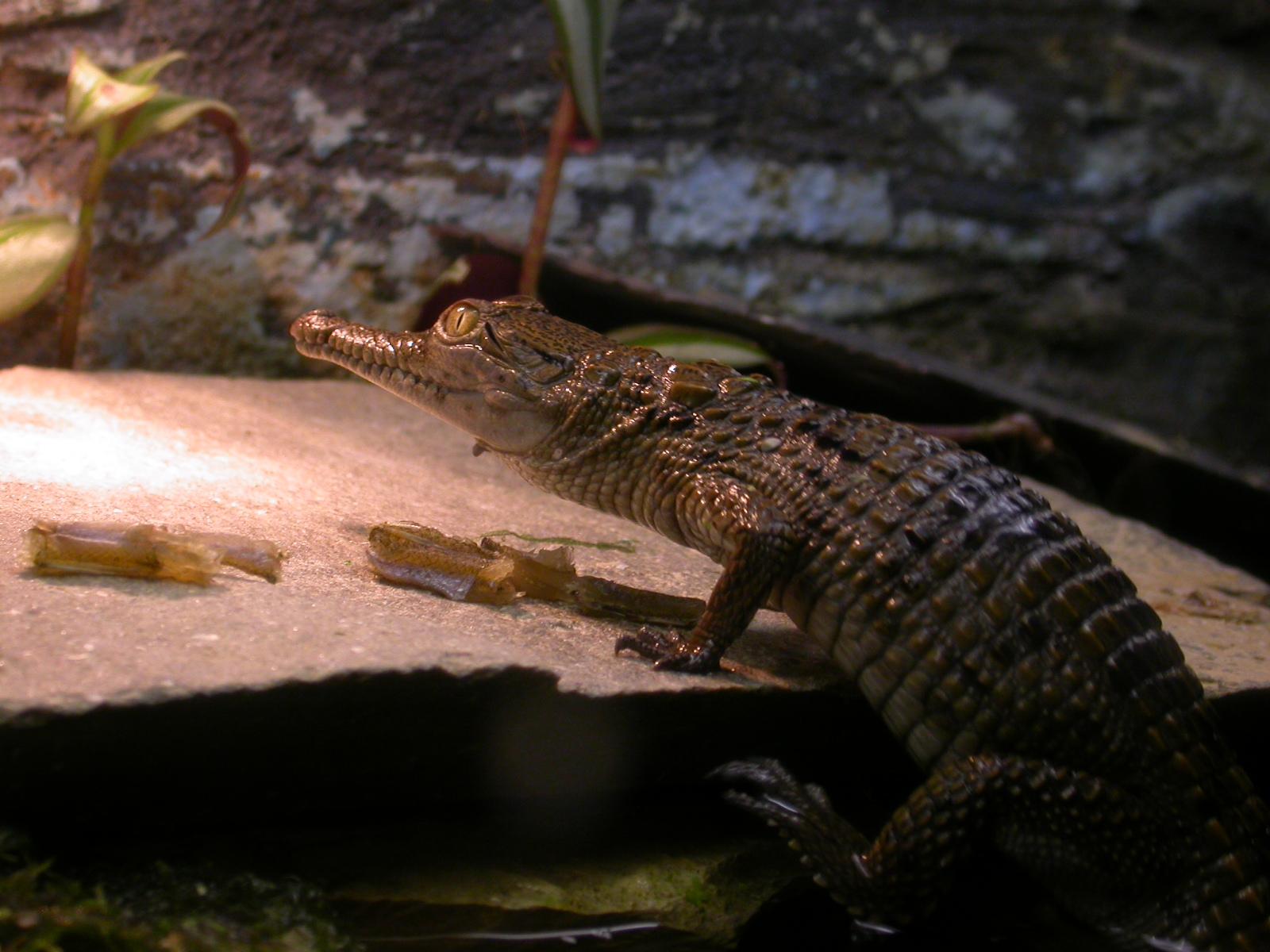 eva aligator shedding skin green lizard reptile crocodile amphibian scales image