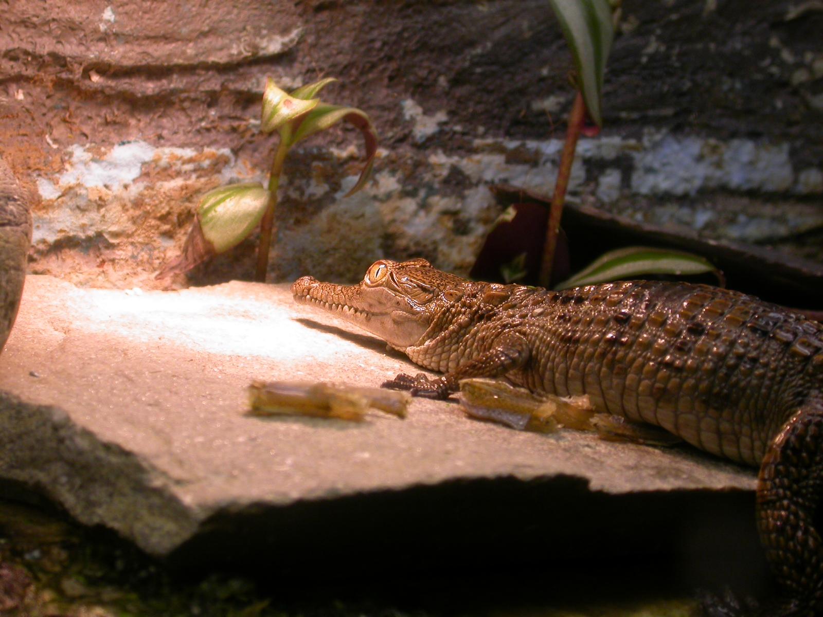 eva nature animals land reptile crocodile alligator young baby