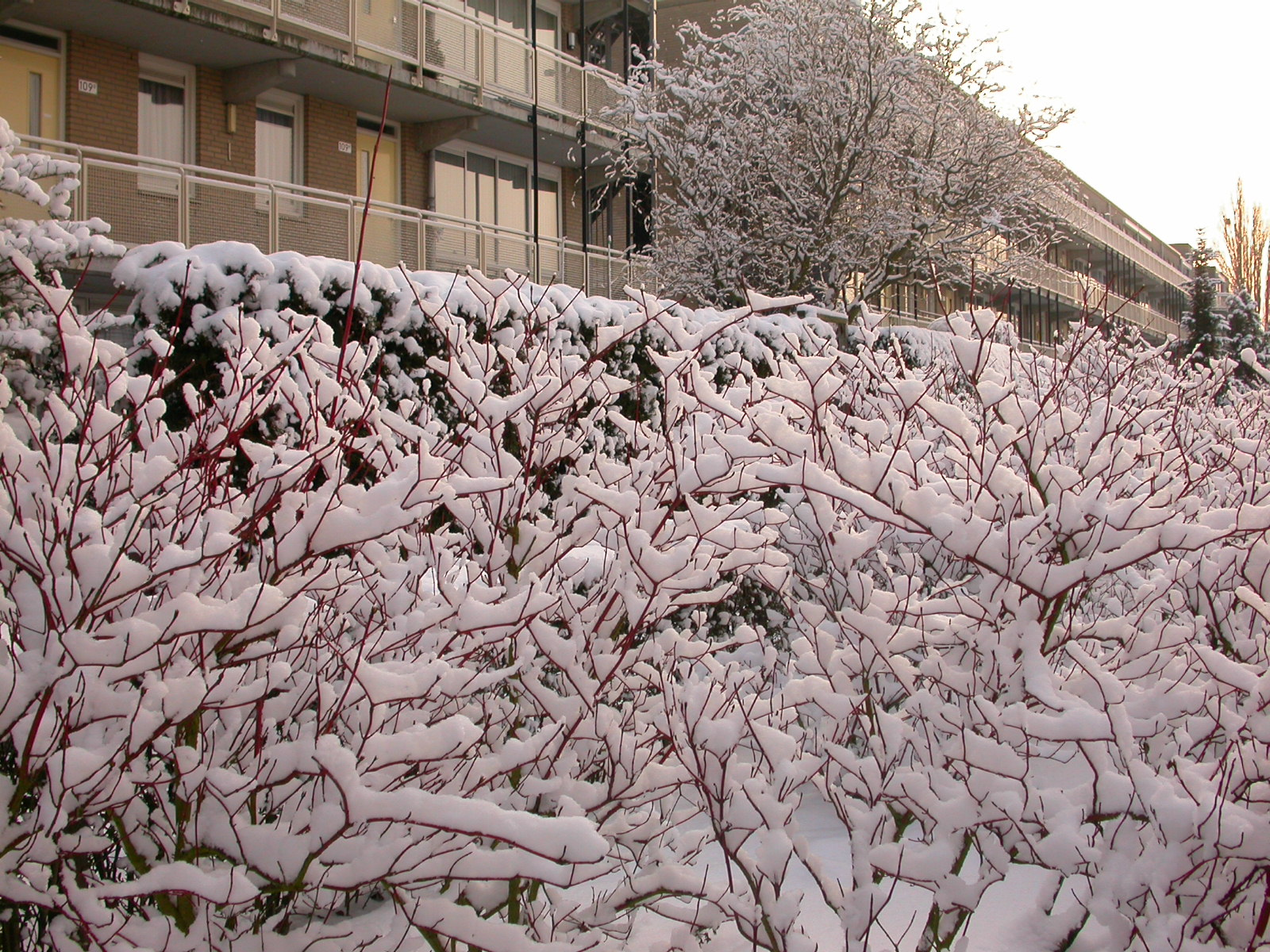 eva snow on bushes branches cold frost winter