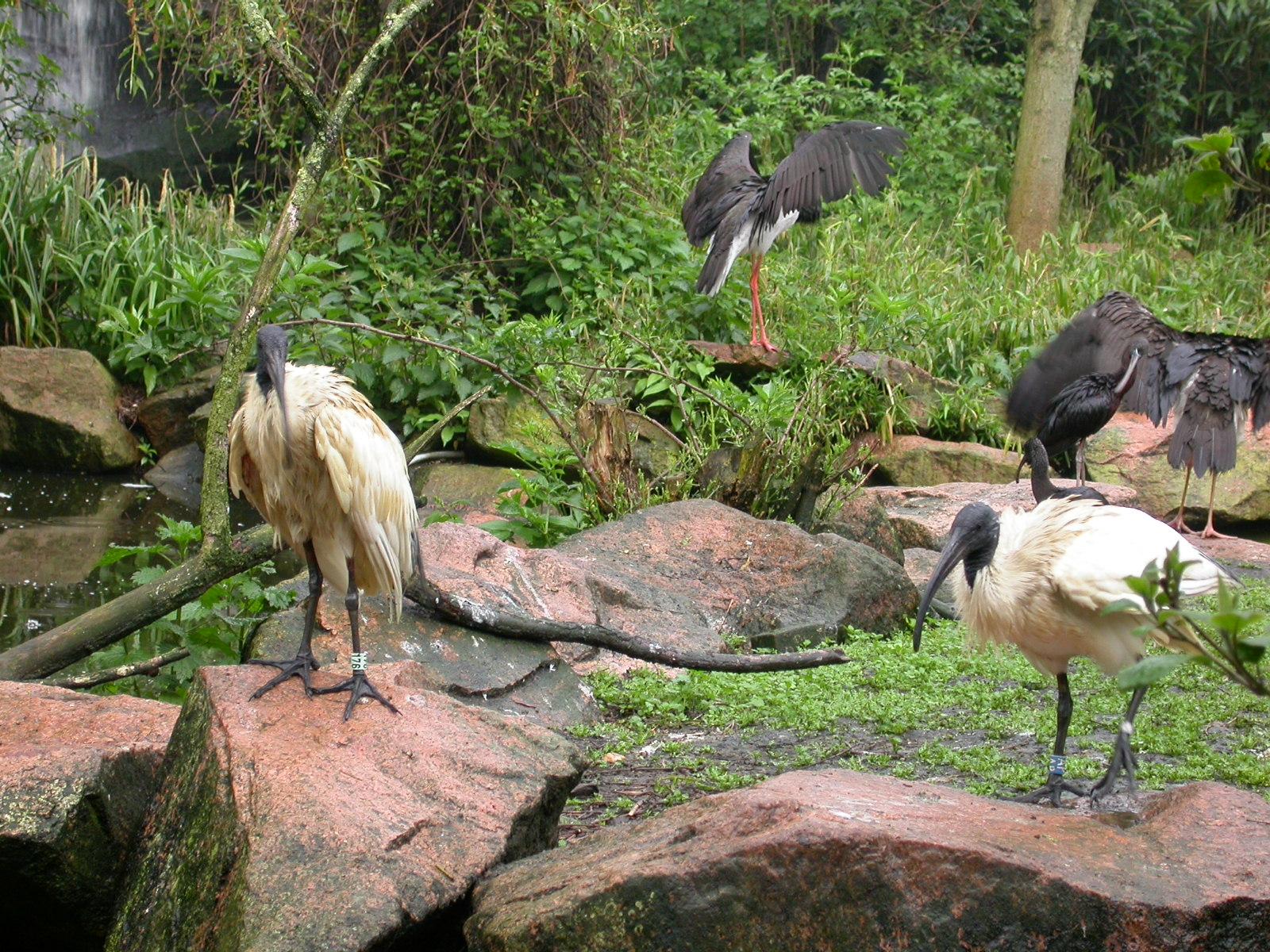 eva pelicans birds wading zoo black feathers long beaks