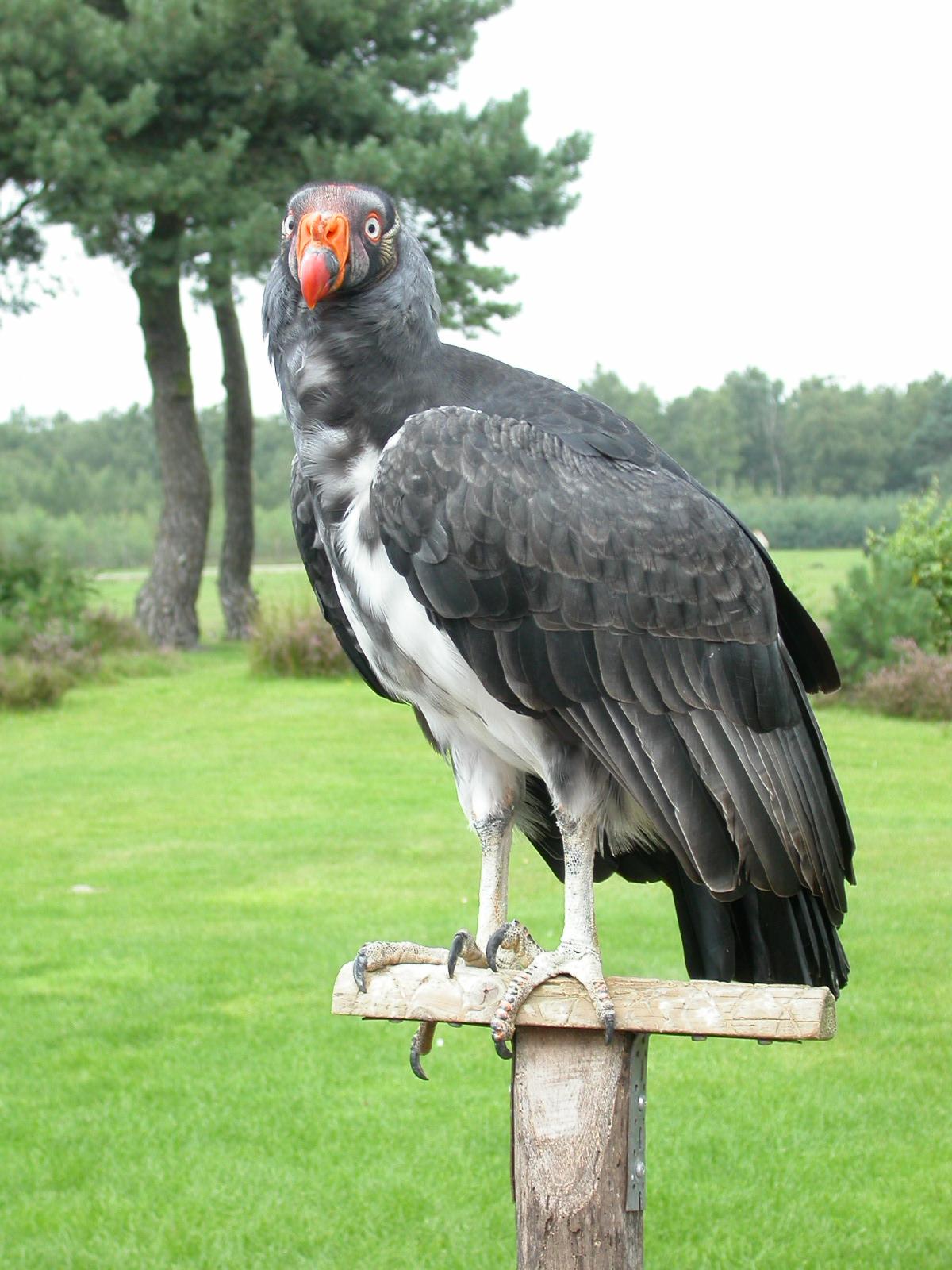 eva bird of prey grey gray feathers beak vulture claws